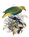 Ptilinopus layardi.jpg