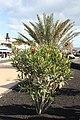 Puerto del Carmen, nerium oleander.JPG