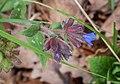 Pulmonaria affinis in Aveyron (35).jpg