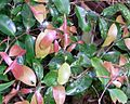 Purple Cherry Dorrigo New Leaves.JPG