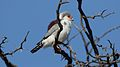 Pygmy falcon, or African pygmy falcon, Polihierax semitorquatus, at Kgalagadi Transfrontier Park, Northern Cape, South Africa. (34384168851).jpg