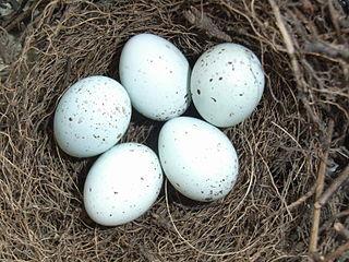 Hýľ obyčajný - vajíčka