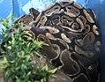 Python regius 1zz.jpg