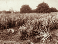 Queensland State Archives 5194 Pineapple plantation Nundah near Brisbane 5 March 1894.png