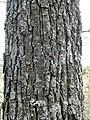 Quercus petraea tronc.jpg