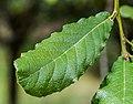 Quercus rugosa in Hackfalls Arboretum (3).jpg