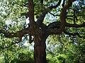 Quercus suber 1.JPG