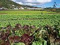 Réunion Dosd'Âne Lettuces2.jpg