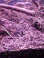 Røde skovmyrer, NaturBornholm.jpg