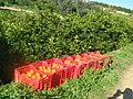 Raccolta di arance al Casale di don Pippo Alaimo - panoramio.jpg