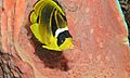Raccoon Butterflyfish (Chaetodon lunula) (6055798441).jpg