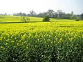 Radlett, Oil seed rape in the valley of Radlett Brook - geograph.org.uk - 1263094.jpg
