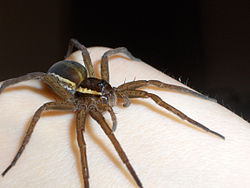 Raft spider on hand.jpg