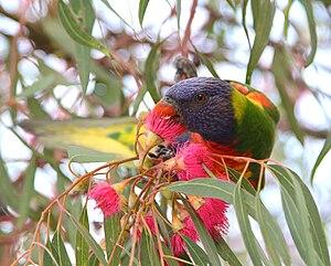 Rainbow lorikeet - Rainbow lorikeet, Trichoglossus moluccanus, feeding at Adelaide Airport