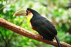 Bunttukan (Ramphastos dicolorus)