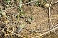 Rana arvalis, groupe au parc national des Cévennes près d'Anduze (2).tif