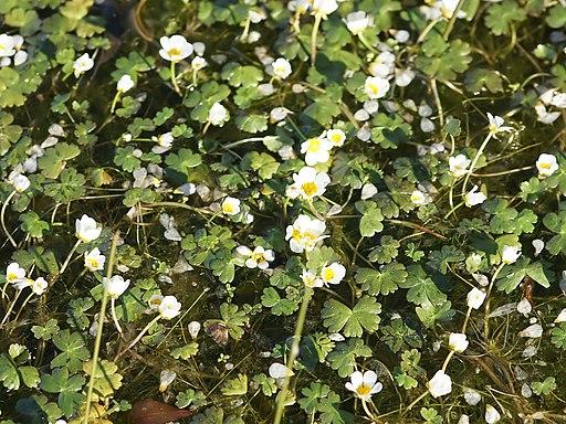 Ranunculus aquatilis (plants)