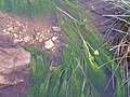 Ranunculus aquatilis Habitus 2011-2-13 SierraMadrona.jpg