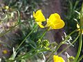 Ranunculus bulbosus sl6.jpg