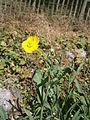 Ranunculus linguaRHu02.JPG