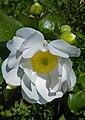 Ranunculus lyallii2 by Peter de Lange.jpg