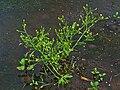 Ranunculus sceleratus 001.JPG