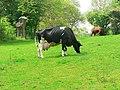 Ready for milking - geograph.org.uk - 1350240.jpg