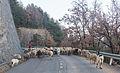 Rebaño de ovejas junto a Buesa, Huesca, España, 2015-01-07, DD 01.JPG