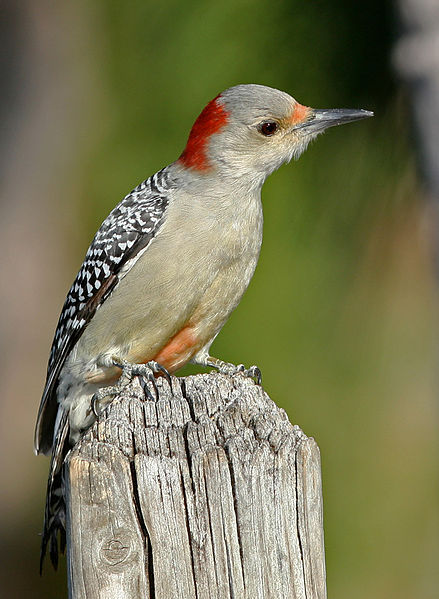 File:Red-bellied Woodpecker Female.jpg