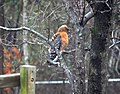 Red-shouldered Hawk, Ouachita County, Arkansas (2013).jpg