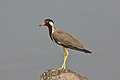 Red-wattled Lapwing Vanellus indicus by Dr. Raju Kasambe DSC 5603.jpg