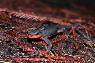 Red-bellied newt Species of amphibian