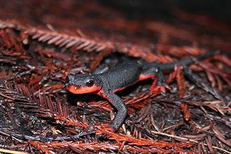 Red-bellied newt - Image: Red Bellied Newt (Taricha rivularis)
