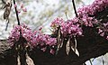 Red Bud Blooms (5619343788).jpg