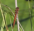 Red Orange Dragonfly 8 (3877756951).jpg