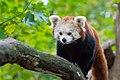 Red Panda (37661237815).jpg