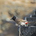 Red Vented Bulbul side profile.JPG