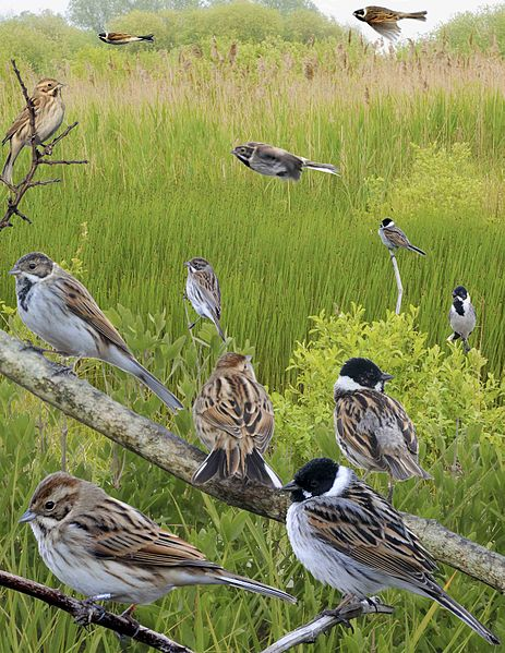Reed Bunting Images Description Conservation Status Dals Wildlife Site Wildlife Of Northern England