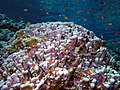 Reef scene with coralline algae (and fish and other stuff), Daedalus Reef.jpeg