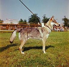 Cane da lupo cecoslovacco