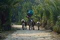 Returning Villager with Cattle - Taki - North 24 Parganas 2015-01-13 4643.JPG