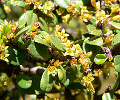 240px rhamnus crocea 3