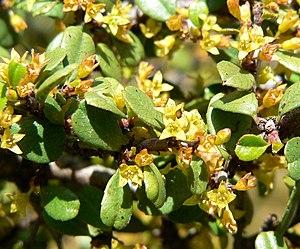 Rhamnus crocea - Rhamnus crocea flowers