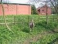 Rhea americana, captive - geograph.org.uk - 159290.jpg
