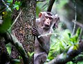 Rhesus Macaque monkey- Hello.jpg