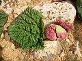 Rheum palaestinum in Syria.jpg