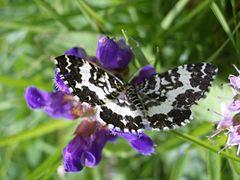 240px rheumaptera hastata julian alps slovenia 1