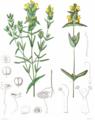 Rhinanthus minor (Icones Florae Germanicae et Helveticae 1862, v20, plate 1738, BHL-29363) clean, no-description.png