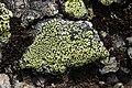 Rhizocarpon sp. (30328345508).jpg