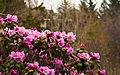 Rhododendron (3497916326).jpg